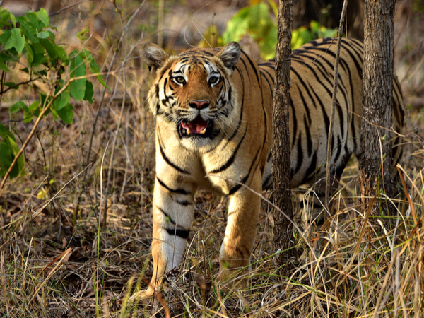 Bengal Tiger in Pench National Park