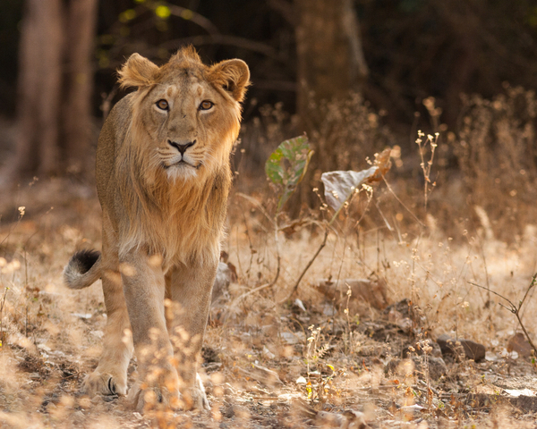 Forward Travel - Home of Asiatic Lion
