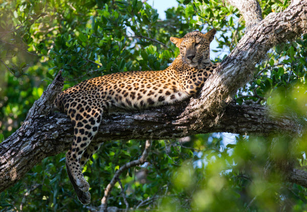 Forward Travel - Sri Lanka Leopard