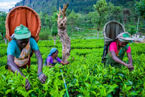 Forward Travel - Tea Country Sri Lanka