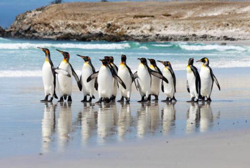 King Penguins on Volunteer Point Beach Falkland Islands