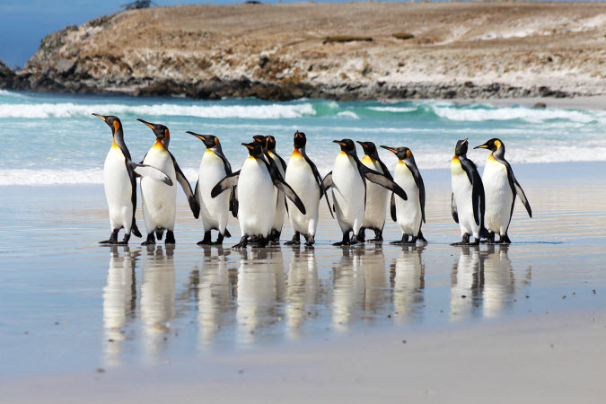 King Penguins on Volunteer Point Beach Falkland Islands