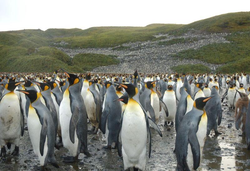 South Georgia Penguins