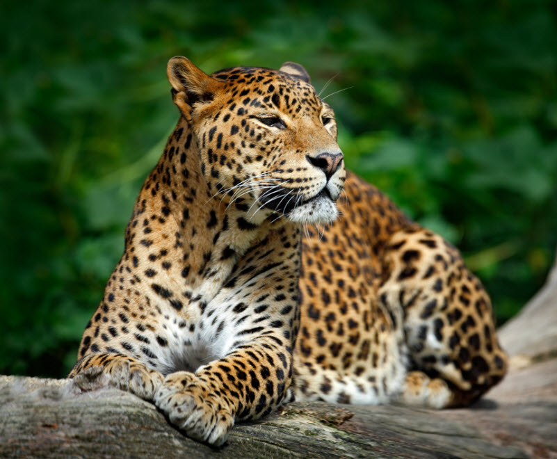 Leopards-in-Yala-National-Park-FT