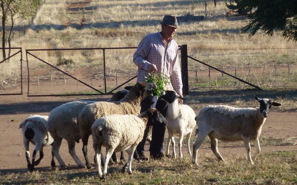 FT - A farmer feeding his sheep