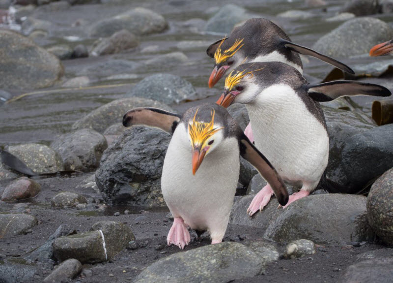King penguins walking on the rocks