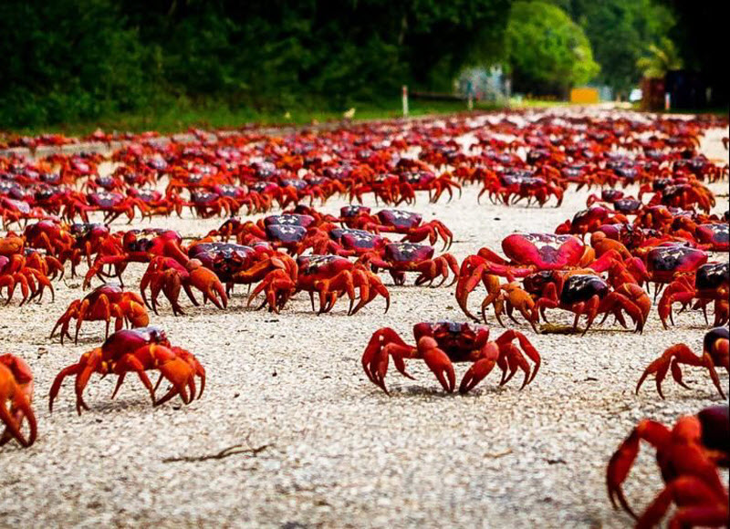 Thousands of crab crawling on the shore